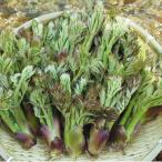 タラの芽  1kg 天ぷら 国産 天然 採りたてを産直 ミシュラン3つ星御用達店 たらぼ たらんぼ もちたらぼ とげたらぼ