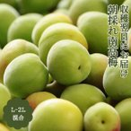 早期予約割引 青梅 南高梅 10kg L-2Lサイズ 秀品 紀州 和歌山 朝採れ南高梅 送料無料