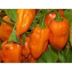 H2 Habanero Pepper Orange (ハバネロ) 10粒 世界の珍しい野菜の種
