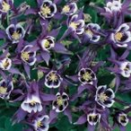 K799アキレギア(西洋オダマキ) vulgaris winky purple white (3粒)