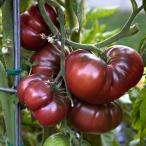 ショッピングトマト V142 TOMATO BLACK KRIM 黒トマト ブラッククリム (10粒) 世界の珍しい野菜の種