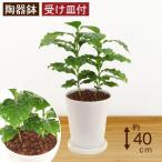 観葉植物 コーヒーの木 高さ約40cm 陶器鉢ホワイト