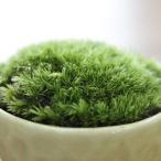 苔 育成キット ほそばおきな苔 苔玉 インテリア テラリウム 専用培養土モスソイル付属 観葉植物