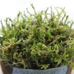 苔 育成キット ひつじ苔 専用培養土モスソイル付属 苔玉 インテリア 観葉植物