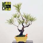 小品盆栽:三河黒松(現品)*(特典付き)