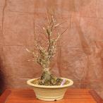 中品盆栽:紅梅【現品限り】*Ume