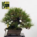 小品盆栽:赤松(アカマツ)【現】*Akamatsu【送料無料】