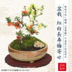 母の日ギフト 小品盆栽:紅白長寿梅寄せ植え(瀬戸焼小鉢)*