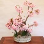 豪華桜寄せ盆栽:桜の秘境*
