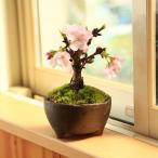 桜盆栽:鉢色選べる一才桜(信楽焼足付浅鉢)*2018年葉姿でお届け