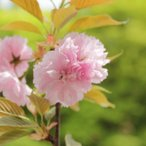 桜盆栽:楊貴妃桜(ようきひざくら)(イブシ反鉢 萬古焼)