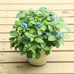 小品盆栽:常山アジサイ(信楽焼)*(じょうざんあじさい)(ディクロア)紫陽花