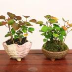 鉢が選べる ミニ盆栽: はまぼう*