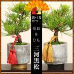 インテリア盆栽:三河黒松(モダン鉢)紐・受け皿付き*あすつく対応 ぼんさい ボンサイ
