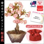 母の日 ギフト 桜盆栽:鉢が選べる母の日開花桜*