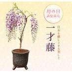 母の日 ギフト 盆栽:母の日開花一才藤(瀬戸焼志野釉ちぎり鉢)*送料無料