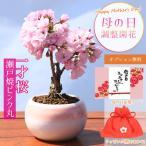 母の日ギフト 桜盆栽:母の日開花桜(萬古鉢)*  ラッピング付です * プレゼント鉢植え 鉢花 さくら花見