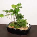 (遅れてごめんね 父の日ギフト)盆栽:黒松景色盆栽*灯篭&亀付です 鉢植え 寄せ植え プレゼントにも