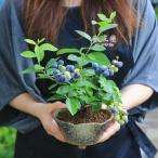 即日出荷可 父の日ギフト 小品盆栽:ブルーベリー(瀬戸焼変形鉢)*