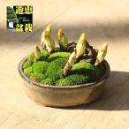 小品盆栽:七福神巡り(福寿草7芽)*陶器鉢