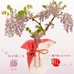 母の日ギフト:母の日開花藤*プラ鉢(ご予約受付中)ラッピング付 ふじ プレゼント 鉢植え 鉢花