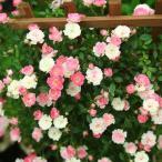"""庭木・植木:つるバラ""""舞姫""""*白からピンク、赤色へと美しい変化を楽しめます。"""