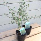 """盆栽風にも洋風鉢にも合います♪:ソフォラ """"リトルベイビー""""(メルヘンの木)*2個セット"""