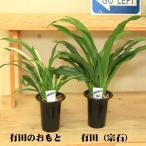 おもと 観葉植物:オモト・4号*万年青(受皿付き)