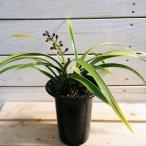 みつばち誘引:金稜辺(キンリョウヘン)*シンビジウム・(4/1:紫色の小さな花芽伸びてきています。まだ開花していません)