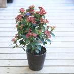 庭木・鉢花:常緑ガマズミ ビバーナム ティヌス