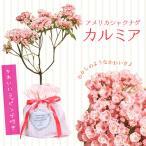 鉢花:カルミア*アメリカシャクナゲ*品種選べます 2017年開花終了