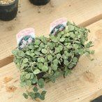 観葉 多肉植物:ホヤ・カーティシー*2個セット/カーテシー