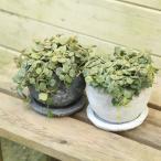 観葉 多肉植物:ホヤ・カーティシー*カーテシー・鉢色選べます。受け皿付き  Rosetta Bowl SS