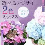 遅れてごめんね 母の日 ギフト 鉢花:アジサイ(紫陽花) 2色ミックス*ゼブラorダンスパーティ ラッピング付き