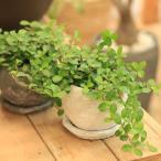 """がじゅまる 観葉植物:つる性ガジュマル フィカス """"シャングリラ""""*鉢色選べます。 受け皿付き Rosetta Bowl ss"""