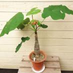 観葉植物:サンゴアブラギリ(珊瑚油桐)*5号