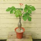 観葉植物:サンゴアブラギリ(珊瑚油桐)*6号