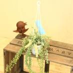 観葉植物:ディスキディア ルスキフォリア*バリエガータ ミリオンハート メルシー吊り鉢