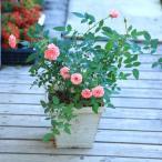 鉢花:ミニバラ チカコルダーナ*桃色 四季咲き