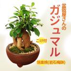 がじゅまる インテリア盆栽: ガジュマル 多幸の樹 瀬戸焼鉢*