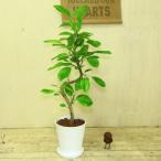 観葉植物:フィカス アルテシーマ(アルティシーマ)*セラアート(受け皿付)バークチップ付き 斑入り