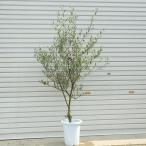 観葉植物 庭木 シンボルツリー:SOUJU(創樹)オリーブの木 8号*品種選べます 大型ヤマト便配送
