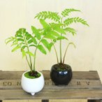 観葉植物 シダ植物:リュウビンタイ*こけ付き モダン鉢 お色選べます。