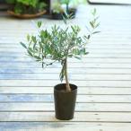 観葉植物 おりーぶ SOUJU(創樹)ブランド:オリーブの木*3号