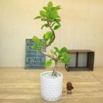 観葉植物:フィカス アルテシーマ(アルティシーマ)*陶器鉢 受け皿付 大型ヤマト便配送