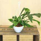 希少植物 観葉植物:コウモリラン(ビカクシダ)*吊り鉢