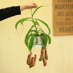 食虫植物・ウツボカズラ:ネペンシス アラータ*白鉢