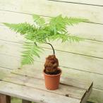 観葉植物:ゴールデンモンキー(孫悟空)/タカワラビ*Sサイズ3..5号 受皿付き 葉がなくなりました。