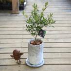SOUJU(創樹)ブランド:オリーブの木*ロゼッタトール 受け皿付 バークチップ