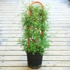 """庭木・植木・鉢花:ミニバラ """"みさき""""*お花は終了してのお届けとなります。"""